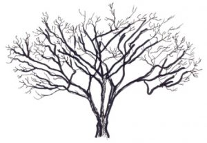 Illustration of Hamamelis virginiana