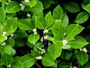 Ilex verticillata flowers