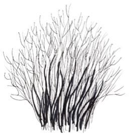 Ilex verticillata illustration