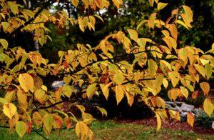 Ostrya virginiana foliage