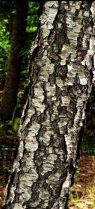 Prunus serotina bark