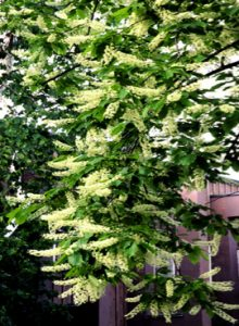 Prunus serotina flowers
