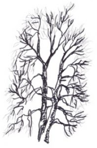 Prunus serotina illustration