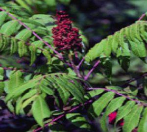 Rhus glabra flower