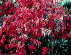 Rhus glabra autumn foliage
