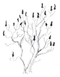 Rhus glabra illustration