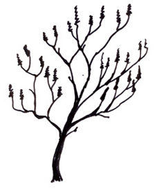 Rhus typhina illustration