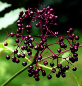 Sambucus canadensis fruit