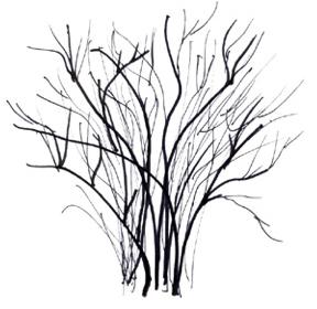 Sambucus canadensis illustration