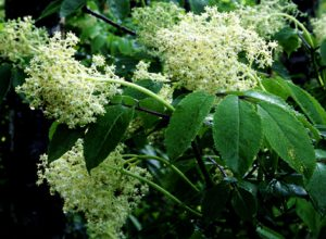 Sambucus racemosa var. pubens flowers