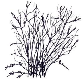 Sambucus racemosa var. pubens illustration