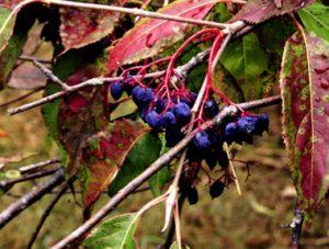 Viburnum lentago fruit