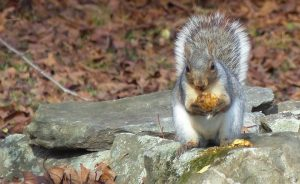 gray squirrel eating an apple