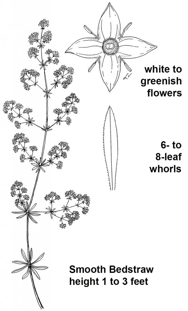 Illustration of smooth bedstraw