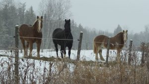 3 horses in snowy pasture