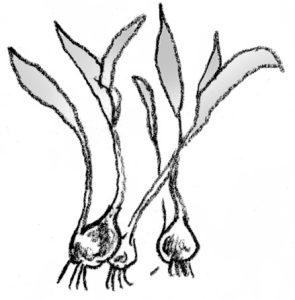 illustration showing bulbs