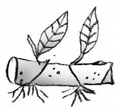 illustration showing cane cutting