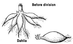 illustration showing how to divide dahlias
