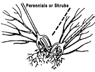 illustration showing how to divide shrubs with two garden forks