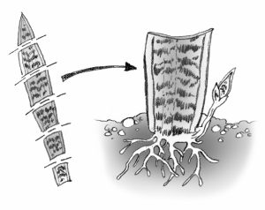 illustration showing how to cut leaf into sections for rooting