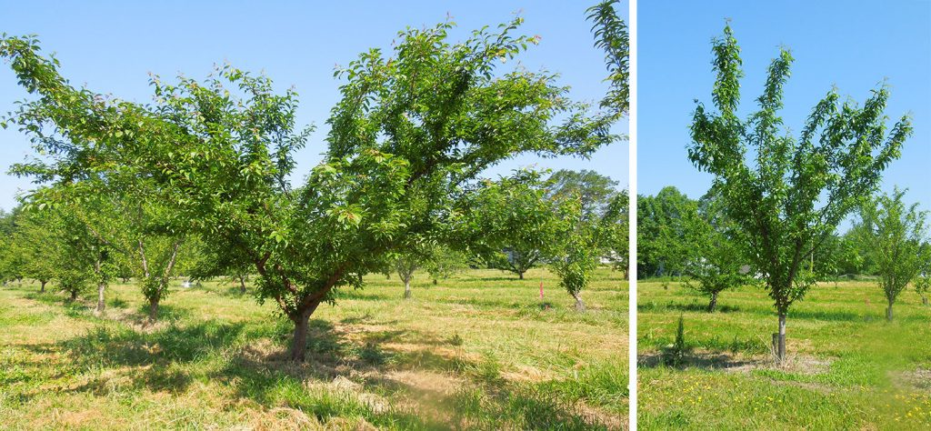 Plum tree with spreading habit (left); plum tree with an upright habit (right)