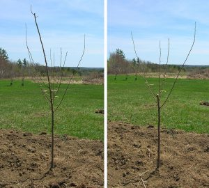 Unpruned young fruit tree (left); young fruit tree with center branch removed (right)