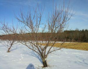 unpruned fruit tree in winter
