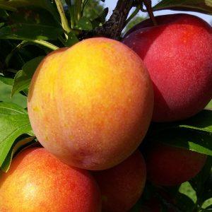 Vanier plums