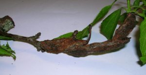 fruit tree branch with black knot
