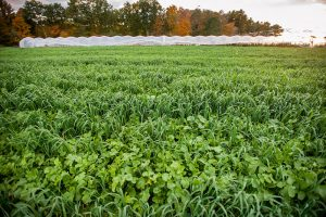 field with cover crop
