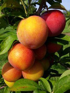Vanier plums on the tree