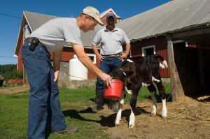 Extension expert looks on as dairy farmer feeds young calf