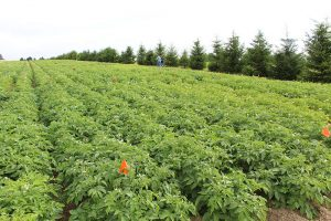 Sulfur deficient potato crop that looks normal from the foliage because the sulfur deficiency in potato is a hidden hunger.