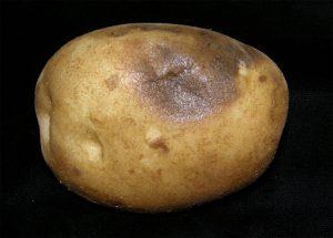 potato with external leak symptoms.