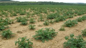 Potato plants in field showing Dickeya dianthicola wilt