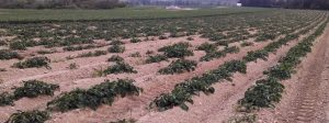 Loss of potato plants in the field due to Dickeya dianthicol