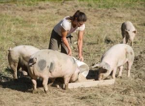 Farmer feeding her pigs