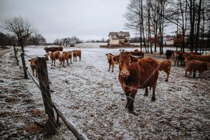 Cows in snow-covered pasture