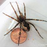 Fishing Spider; Maine's largest spider