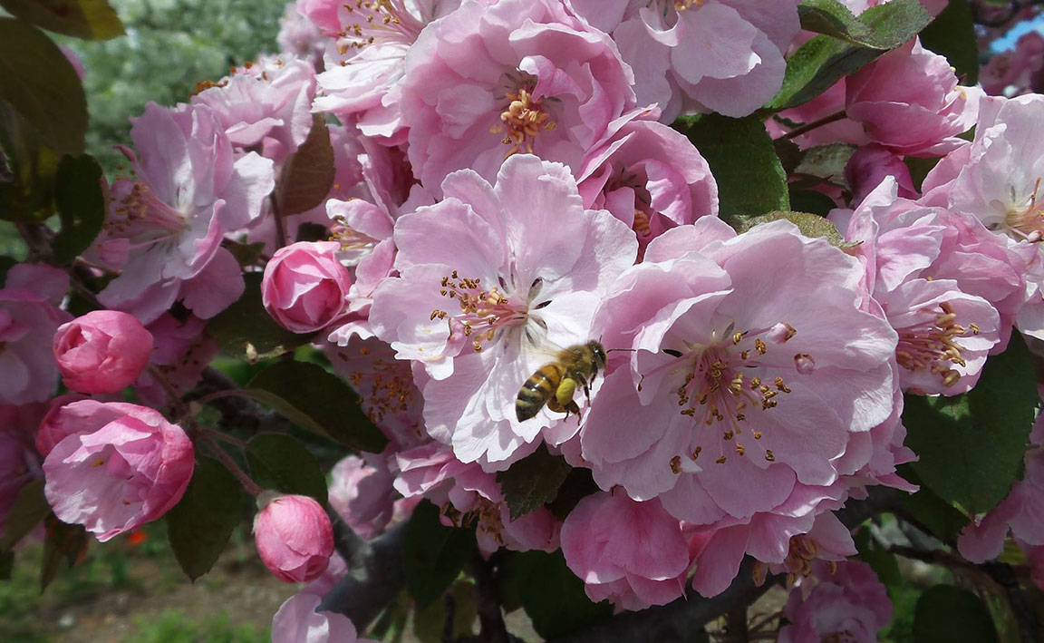 honey bee and apple blossoms