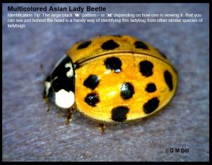 Closeup of a Multicolored Asian Lady Beetle with the following ID tip written on the photo: The large, black 'W' or 'M' pattern (depending on orientation) that can be seen just behind the head is a handy way of identifying the Multicolored Asian Lady Beetle from other species of ladybugs.