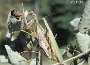 a pair of mating Praying Mantids (also written as Mantises)
