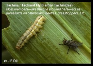 Tachina (Tachinid) Fly (most members act as parasitoids on caterpillars, beetles, grasshoppers, etc.)