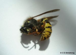 A Common Aerial Yellowjacket worker (side view)