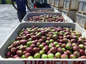 bins of apples on a flat-bed trailer