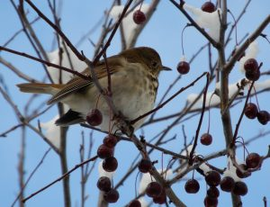 Small bird in a crabapple tree