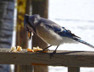 Blue Jay eating breadcrumbs