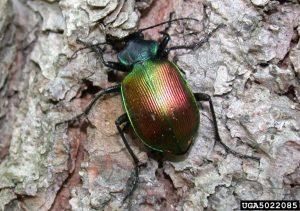 Forest Caterpillar Hunter (Ground) beetle