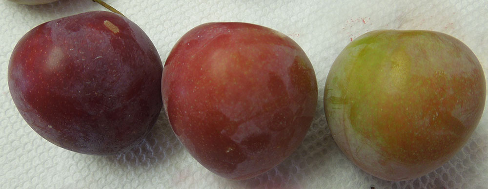 3 plums ranging in color from green with a blush of red to dark red