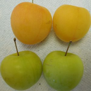 Top: ripe plums (yellow); bottom: unripe plums (green)
